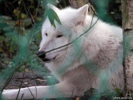 Прекрасные волки в дикой природе