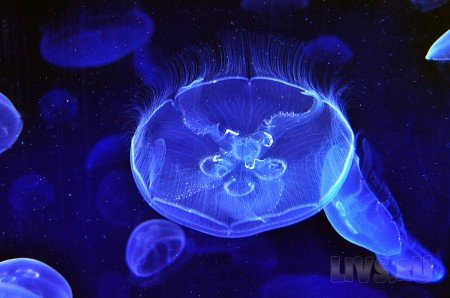 Jellyfishes (������)