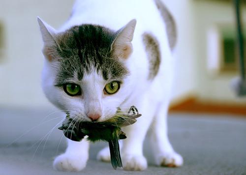 Коты-охотники