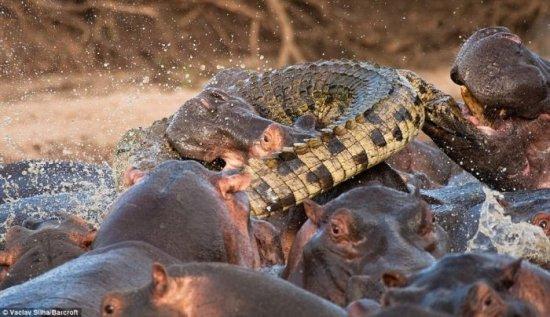 Крокодил убит бегемотом