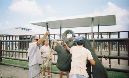Как обучают слонят