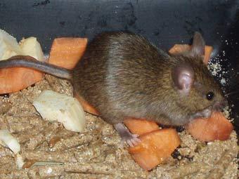 Мыши устроили гнездо в столе британского полицейского