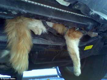 Кошка чудом осталась жива после поездки в двигателе автомобиля