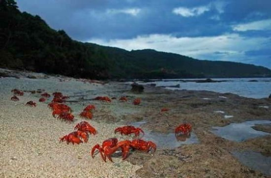 Необычные фотографии: Миграция крабов на острове Рождества