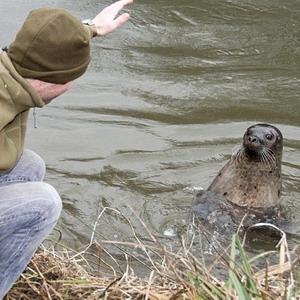 Заблудившийся тюлень