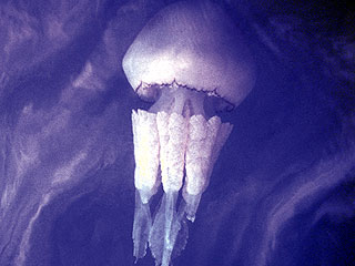 ������ ���������� � ������ ����������� ��������: ������ Turritopsis nutricula