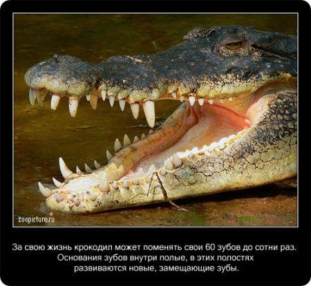 Интересные факты (О крокодилах)