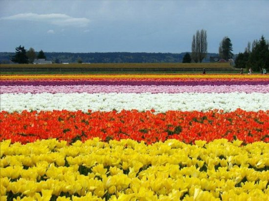 Тюльпановые поля в Нидерландах