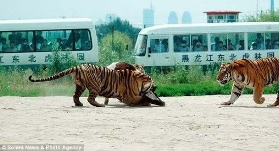 Шоу с тиграми и коровой