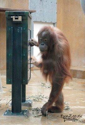 Муки орангутангов