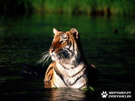 Красивые тигры