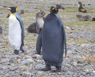 Черный пингвин