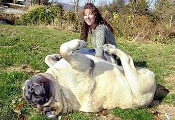 Очень толстые собаки