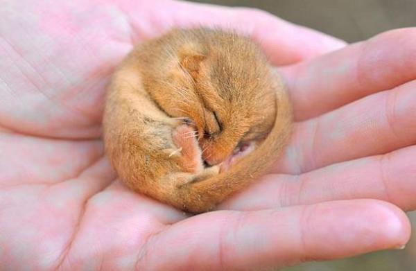сони животное фото - фото 10