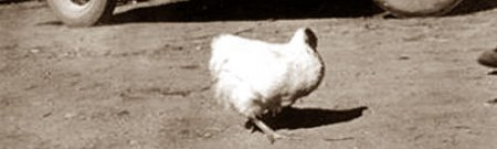 Безголовый цыпленок Майк