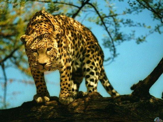 Красивые леопарды