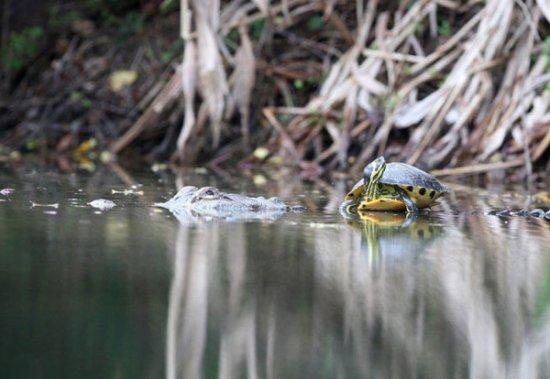 Удивительная дружба двух рептилий