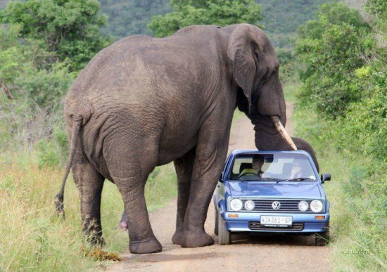 """Слоны оказались единственными в мире """"полноприводными"""" животными"""