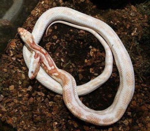 Двухголовые змеи