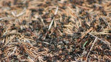 Муравьи ведут сельское хозяйство подобно людям, выяснили ученые