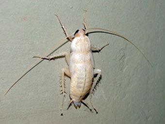 Лужков нашел в московской подземной реке тараканов-альбиносов