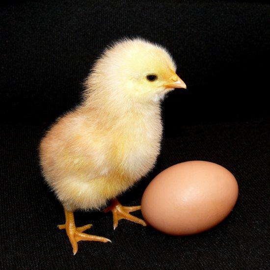 Появление цыпленка