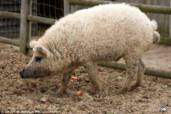 Кудрявая свинья