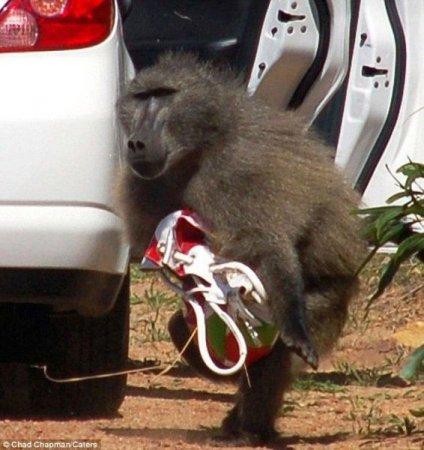 Бабуин-барсеточник