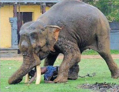 Бешеный слон