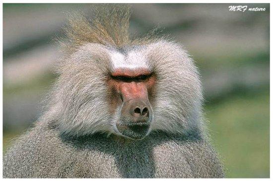Гостям ЧМ-2010 по футболу в ЮАР угрожают свирепые бабуины