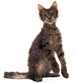 Ле парм: кошки с кудряшками