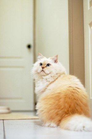 Забавный пушистый гималайский кот