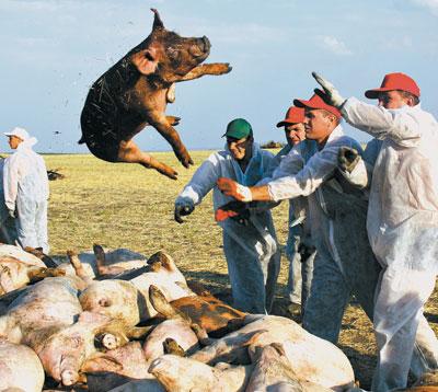 Африканская чума у российских свиней