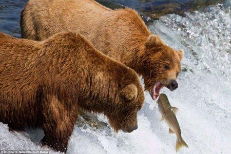Медведи ловят лосося
