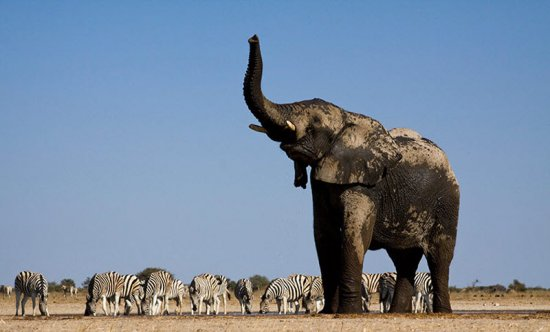 Африканские слоны: вид снизу