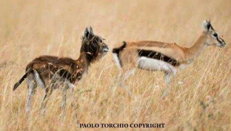 Бородатая антилопа в Чижовском зоопарке