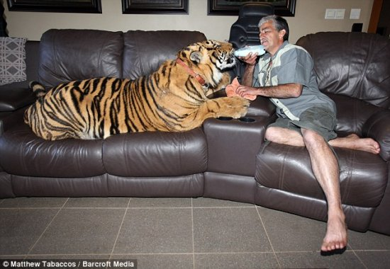 Домашний тигренок