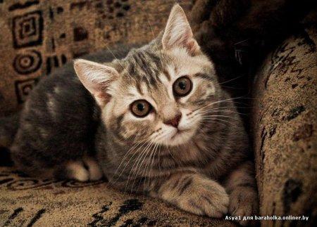 Продается британский короткошерстный котенок