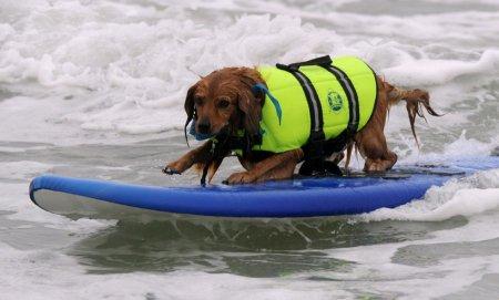 Турнир по серфингу среди собак