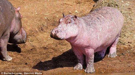 Гламурный розовый бегемот