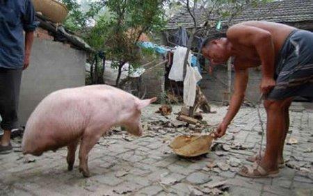 Знаменитая китайская свинья с двумя ногами