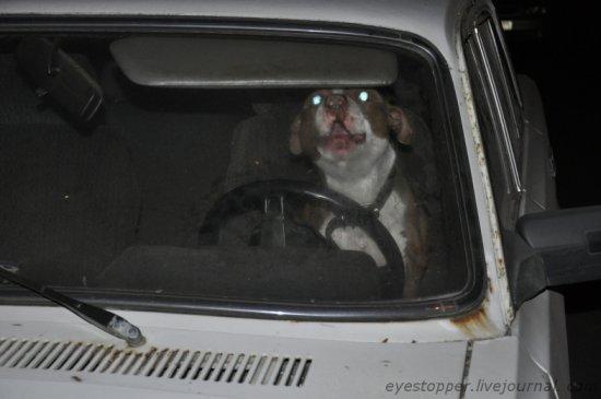 Собака живёт в машине с весны 2010 года - зачем это надо её хозяину?