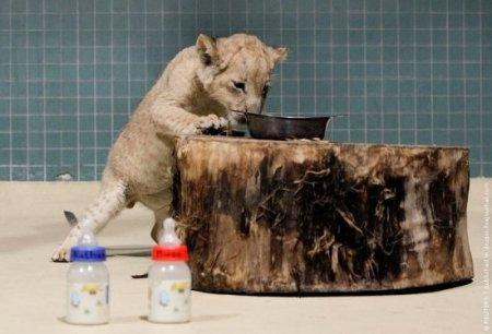 Львята Берлинского зоопарка