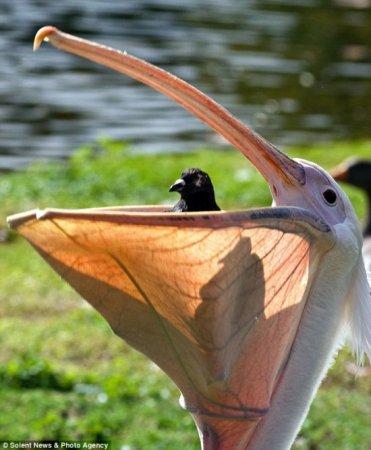 Пеликан сожрал голубя