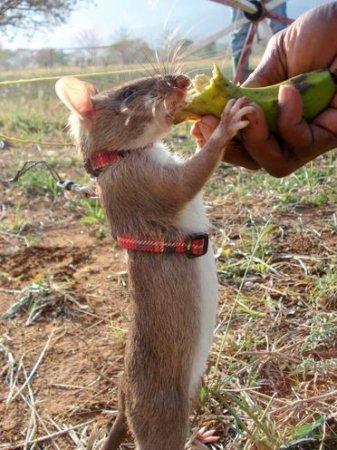 Крысы-саперы расчищают минные поля