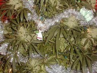 Немец украсил куст марихуаны елочной гирляндой