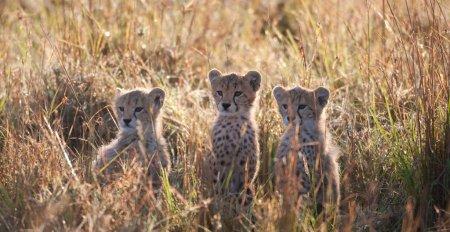 Семейство гепардов