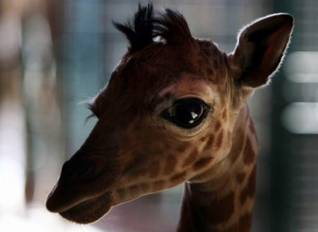 http://banana.by/uploads/posts/2010-12/thumbs/1292402713_baby_giraffe_7.jpg