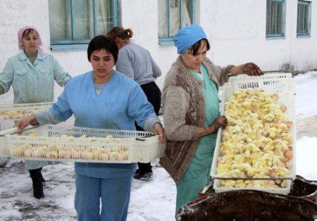 Миллион живых цыплят выбросили на мороз и залили водой