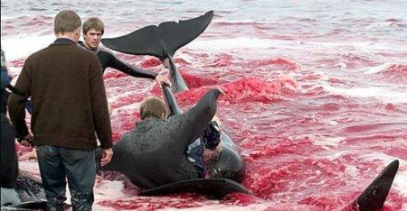 В Дании безжалостно убивают дельфинов